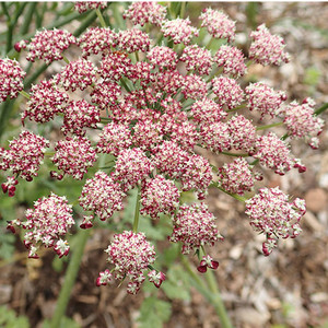 Daucus carota 'purple kisses'