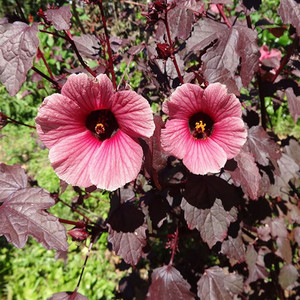 Hibiscus Seeds Plant World Seeds