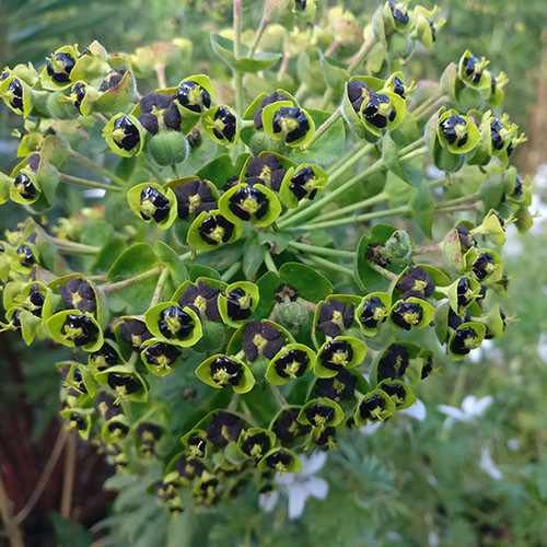 Euphorbia Dwarf Black Pearl Seeds Euphorbia Characias Plant